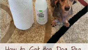 Area Rug Smells Like Dog How to Get the Dog Pee Smell Out Of Your Carpet