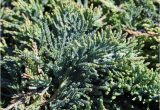 Creeping Juniper Blue Rug Plantfiles Juniperus Blue Rug Juniper Creeping